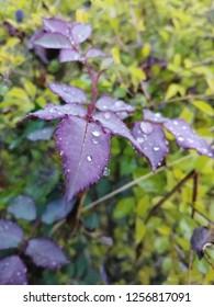morning dew on rose plant leaves