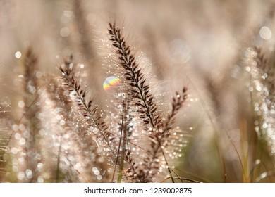 Morning dew (pennisetum)
