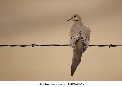 Morning Dove perched on barb wire fence with natural brown background zenaida macroura, dove hunting wing shooting migratory bird species migrate migration