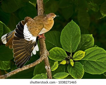 Morning Dove stretching its wing while highlighted by natural light.  The perspective is from above and is unusual for bird in a tree photo.