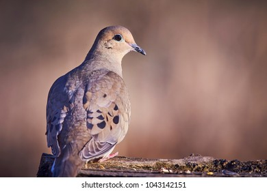 morning dove (Zenaida macroura) on a log