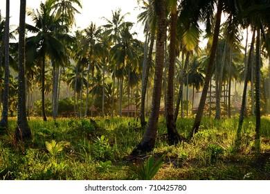 Morning, fog, palm trees. Thailand.