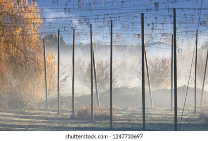 Morning fog rises around a wide view of a hops farm during the winter months.