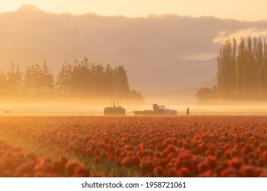 Morning fog at sunrise as farmers tend to tulip fields