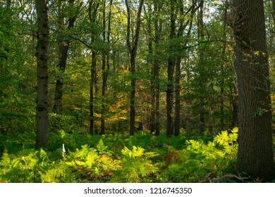Morning forest in autumn with fern covering the ground. Location: Germany, North Rhine-Westphalia, Hoxfeld.