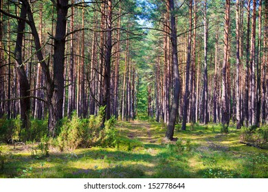Morning forest in the Biebrza reserve