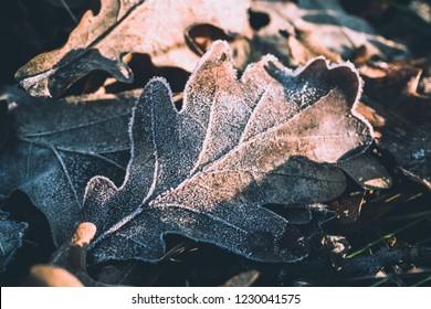 Morning frost on fallen oak leaves. Early winter