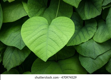 Morning Glories. Lush green heart-shaped leaves.