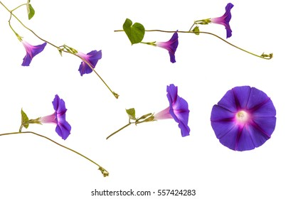 morning glory flowers on isolated on white background
