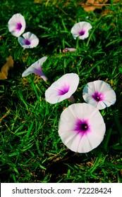 Morning glory in a garden,p portrait