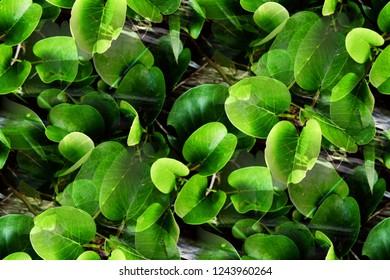 ฺBeach morning glory or Goat's foot creeper ( Lpomoea Pes-Caprae) fresh green leaves grows and creeping plants on the sand