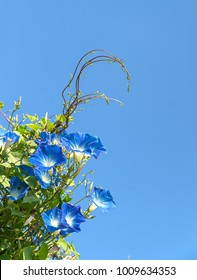 Morning glory or Ipomoea is flowering plants in the family Convolvulaceae agent blue sky