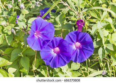 Morning glory, Ipomoea violacea, flowers and leaves