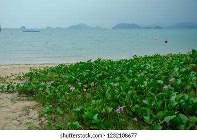 ฺิBeach Morning glory on white beach ,Ipomoea pes-caprae Sweet ( Ipomoea pes-caprae (L.) R.Br.),Cure allergy, insect bites (especially jellyfish poisoning)