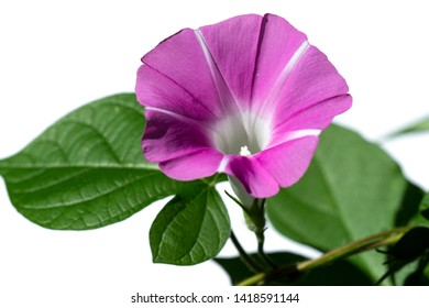 It is morning glory that was photographed in the early morning.