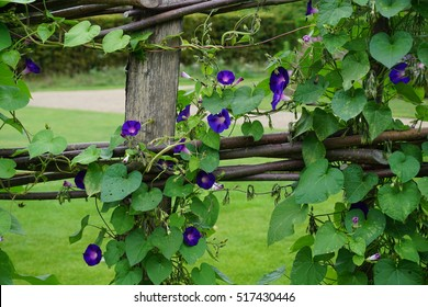 Morning glory vines to climb up a trellis, fence or arch