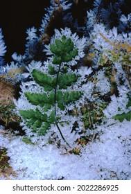 Morning Hoar Frost on Fern Leaf