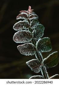 Morning Hoar Frost on Plant Leaves