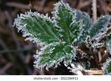 Morning Hoar Frost on Strawberry Leaves