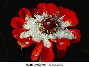 Morning Hoar Frost on Zinnia Flower