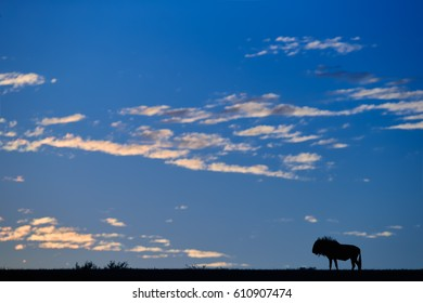 Morning landscape of Kalahari desert. Silhouette of isolated Blue wildebeest, Connochaetes taurinus on the horizon against blue sky with few orange clouds. Peaceful atmosphere of pristine nature.
