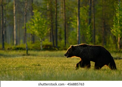 Morning light with big brown bear walking around lake in the morning light. Dangerous animal in nature forest and meadow habitat. Wildlife scene from Finland near Russian border.