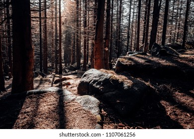 The morning light in the dense spruce forest