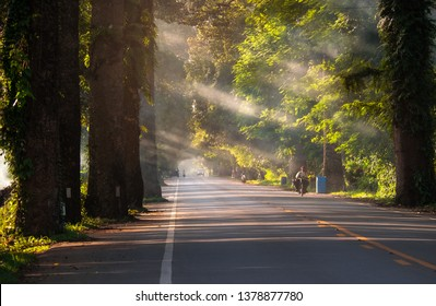 The morning light falls on a rural road with an old Dipterocarpus alatus tree in Khlung, Chanthaburi, Thailand.
