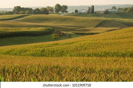 Morning light glow on a pastorial fields of corn, cows and barns near Libertytown MD