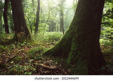 morning light in misty green forest with green foliage and moss on tree roots