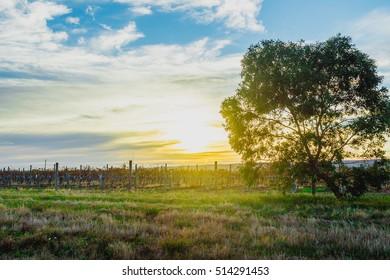 morning light shimmering on a tree in a vineyard