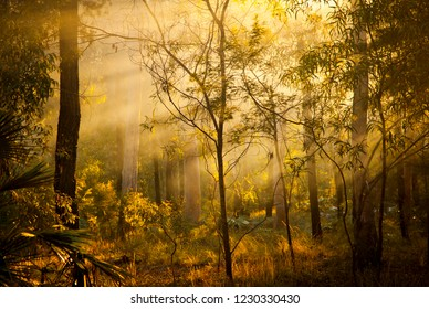 Morning Light, Sunbeams spread out through the trees. Golden light rays in the mist. Sun in fog.