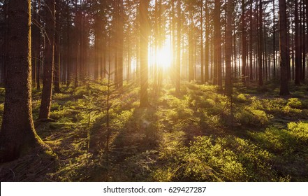 Morning light sunrays in the deep forest