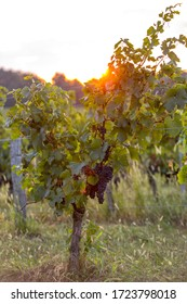 Morning light in the vineyards of Saint Georges de Montagne near Saint Emilion, Gironde, France