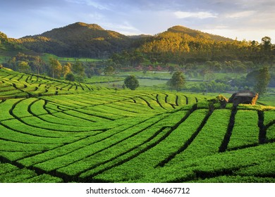 morning ligth in tea Plantation location Ciwidey West Java