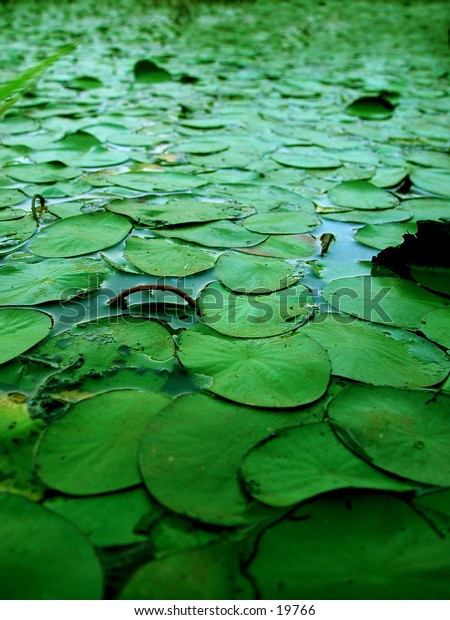 Morning Lily Pads in a swamp