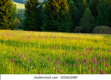 Morning meadow with wild orchid flowers. Sunrise in nature. Broad-leaved Marsh Orchid, pink red Dactylorhiza majalis, European terrestrial wild orchid. Nature spring scene from Europe.