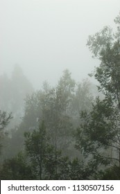 A morning mist covers a forest of eucalyptus trees. The green of the leaves is slowly emerging from the grey cover.