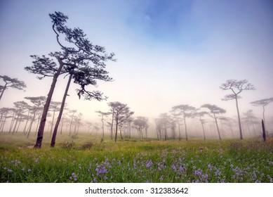 Morning mist Pine yard on Phu Soi Dao National Park, Thailand