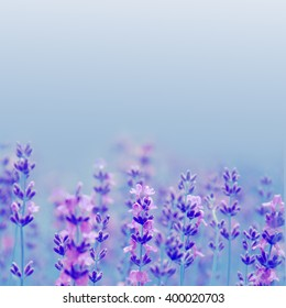 morning natural field lavender flowers day selective focus