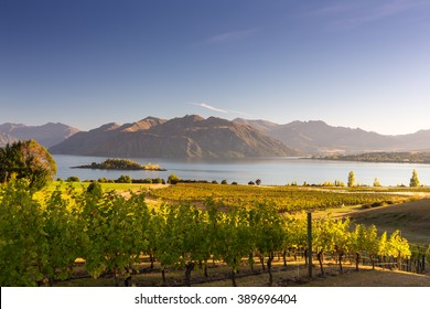 Morning on vineyard at Lake Wanaka, Otago, New Zealand