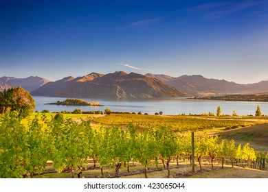 Morning on vineyard at Lake Wanaka, Otago, New Zealand