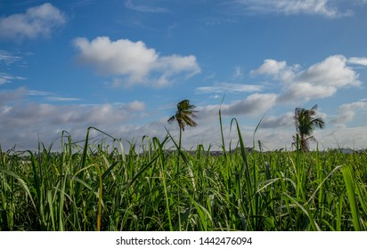A morning picture of sugar cane fields in a tropical location