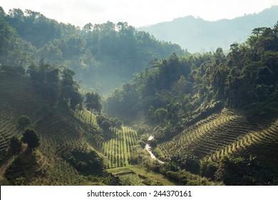 Morning at plantation in mountain, Doi Mae Salong, Chiang Rai, Thailand