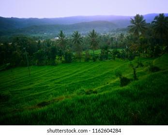 Morning In The Rice Field Of The Village At Gunungsari, Buleleng, Bali, Indonesia