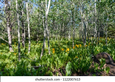 Morning Shadows in a Grove of Quaking Aspens and Yellow Mule's Ears