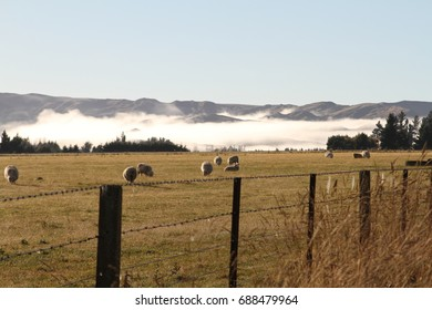 Morning at Sheep farm near mountain in Canterbury South Island, NZ