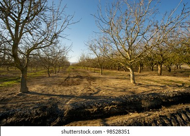 Morning shot of a dormant walnut orchard in Central California