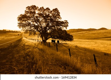 Morning silhouette of oak tree, highway, and cattle.