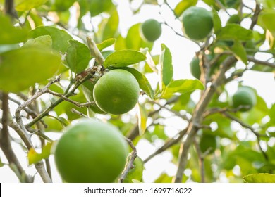 Morning soft light to Fresh green lemon limes on tree with blurred leaf foreground. Close up Shot